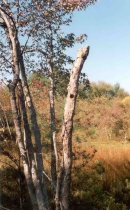 dead-tree-in-bog